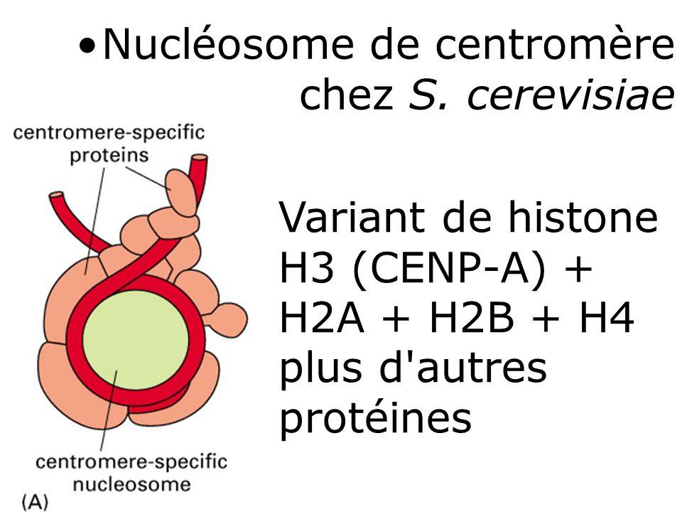 Nucléosome de centromère chez S. cerevisiae