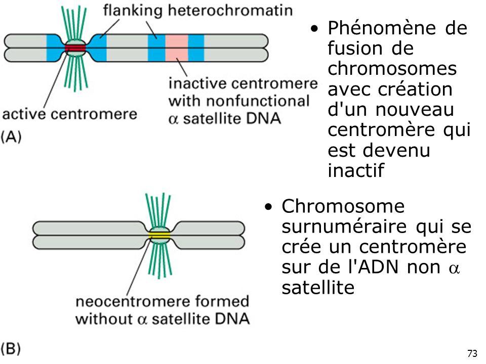 Lundi 10 décembre 2007 Phénomène de fusion de chromosomes avec création d un nouveau centromère qui est devenu inactif.