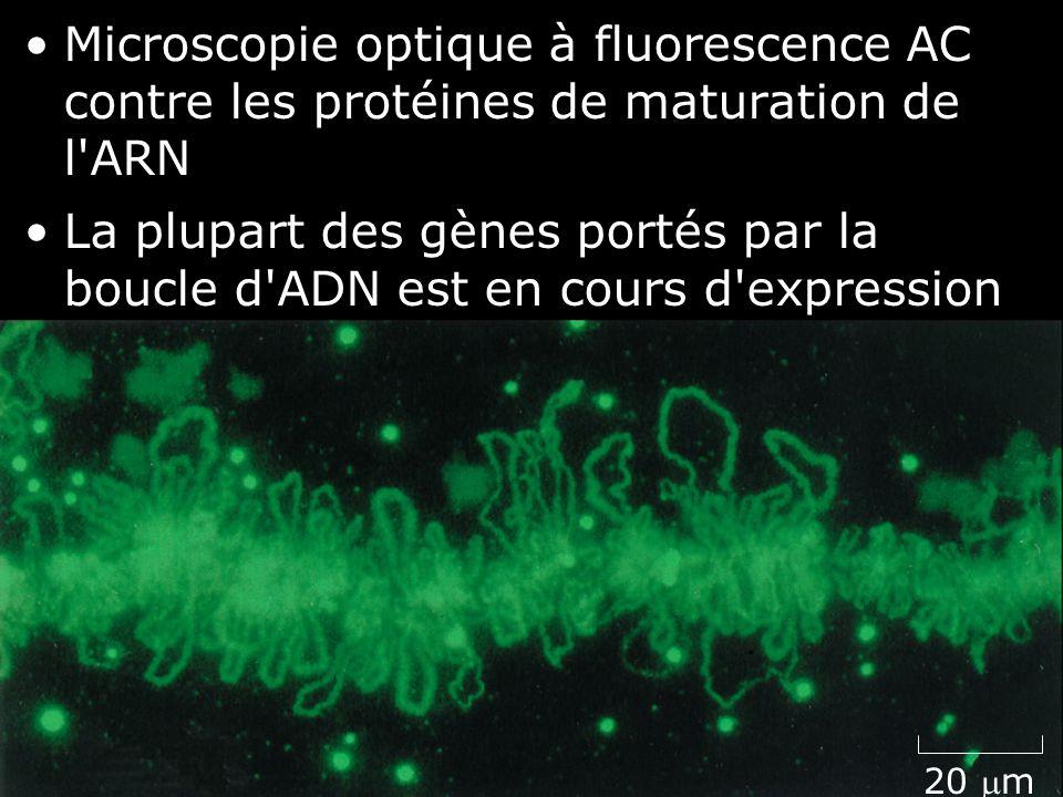 Lundi 10 décembre 2007 Microscopie optique à fluorescence AC contre les protéines de maturation de l ARN.