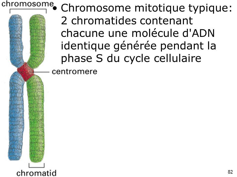 Chromosome mitotique typique: 2 chromatides contenant chacune une molécule d ADN identique générée pendant la phase S du cycle cellulaire