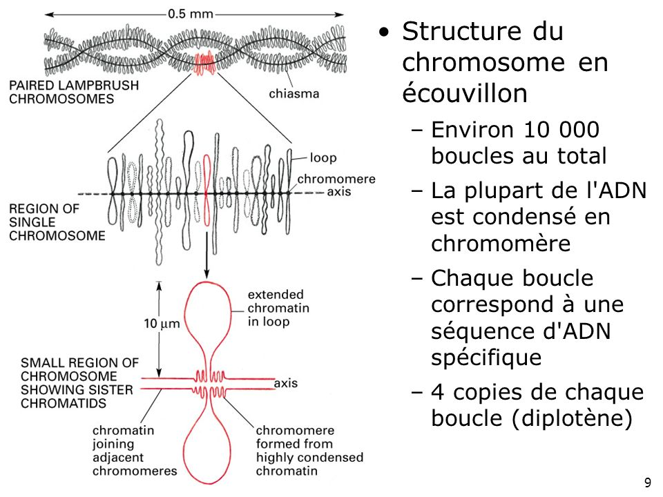 Fig 4-37 Structure du chromosome en écouvillon
