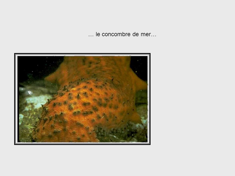 Sea Cucumber System … le concombre de mer… . . . sea cucumber, . . .