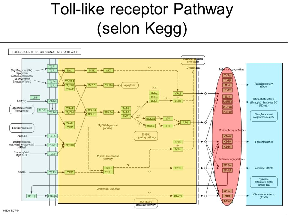 Toll-like receptor Pathway (selon Kegg)
