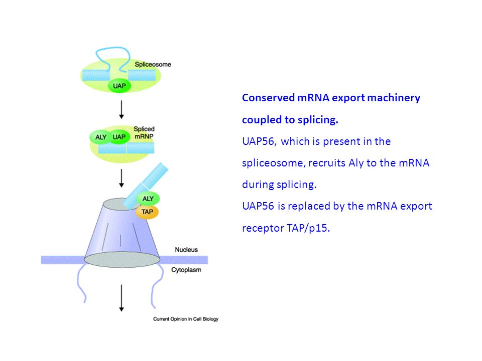 Conserved mRNA export machinery