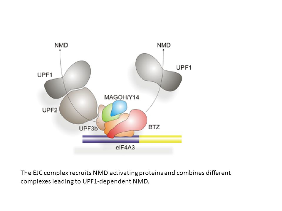 The EJC complex recruits NMD activating proteins and combines different complexes leading to UPF1-dependent NMD.