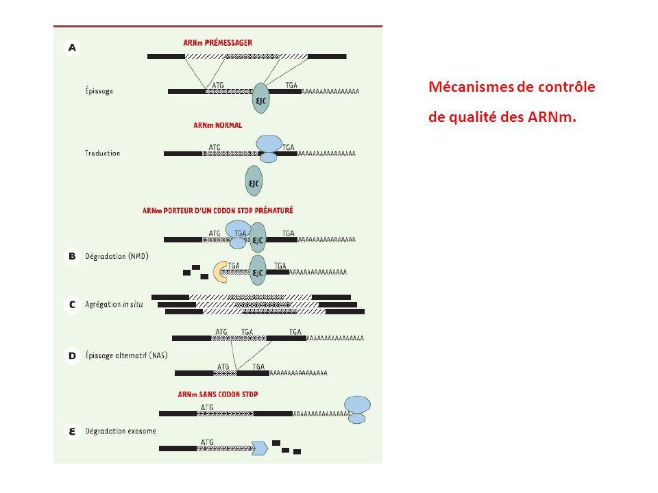 Mécanismes de contrôle de qualité des ARNm.
