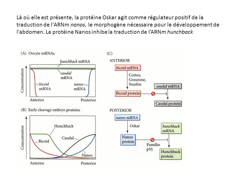 Là où elle est présente, la protéine Oskar agit comme régulateur positif de la traduction de l ARNm nanos, le morphogène nécessaire pour le développement de l abdomen. La protéine Nanos inhibe la traduction de l'ARNm hunchback