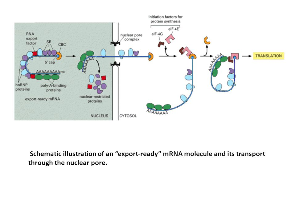 Schematic illustration of an export-ready mRNA molecule and its transport through the nuclear pore.