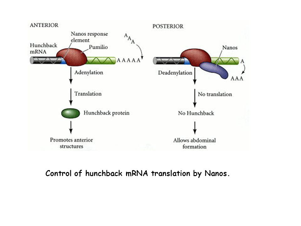 Control of hunchback mRNA translation by Nanos.