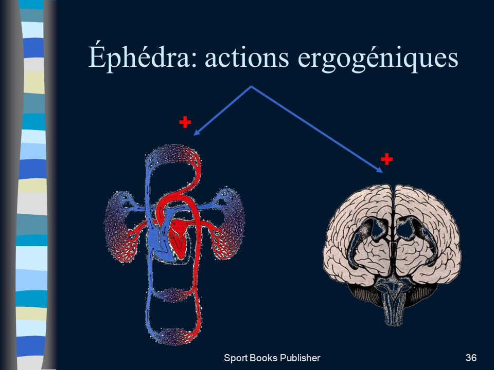 Éphédra: actions ergogéniques