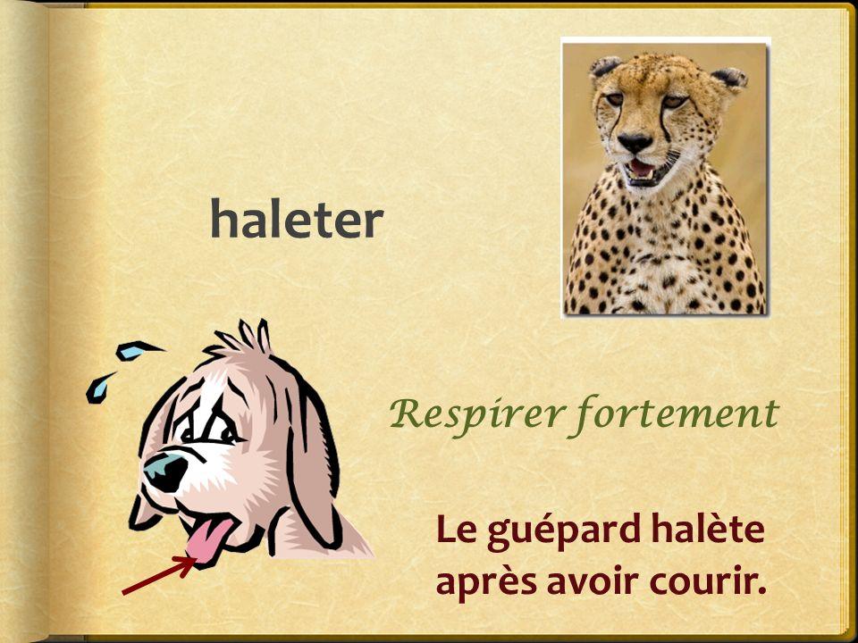 haleter Respirer fortement Le guépard halète après avoir courir.