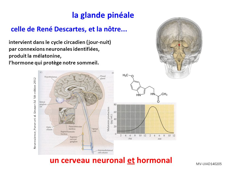 un cerveau neuronal et hormonal