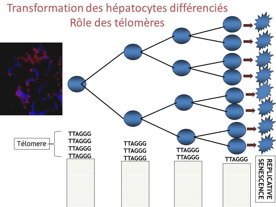 Transformation des hépatocytes différenciés Rôle des télomères