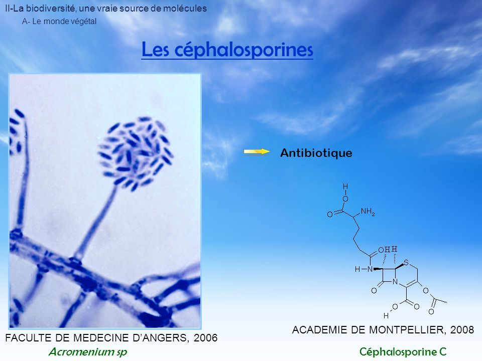 Les céphalosporines Antibiotique Acromenium sp Céphalosporine C