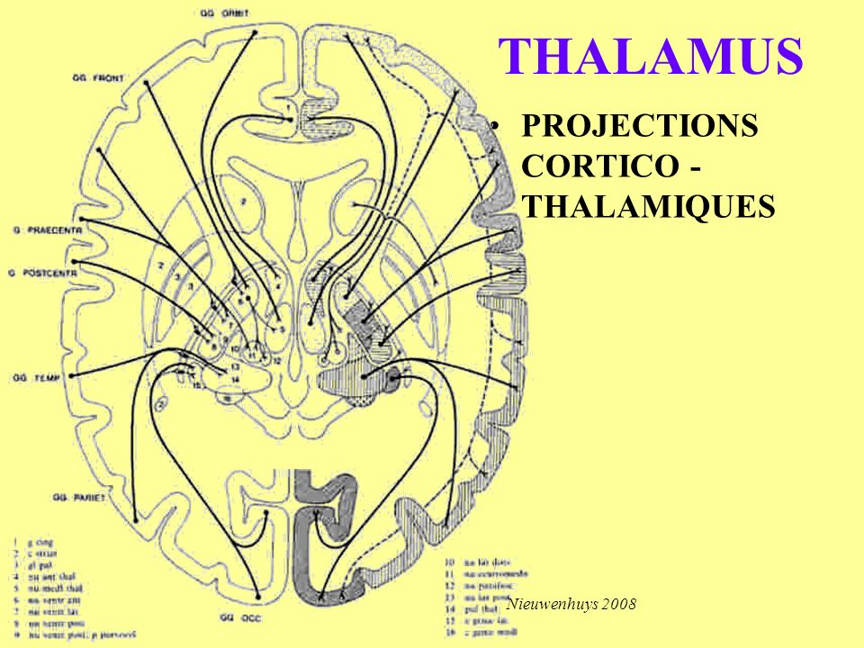 THALAMUS PROJECTIONS CORTICO - THALAMIQUES Nieuwenhuys 2008