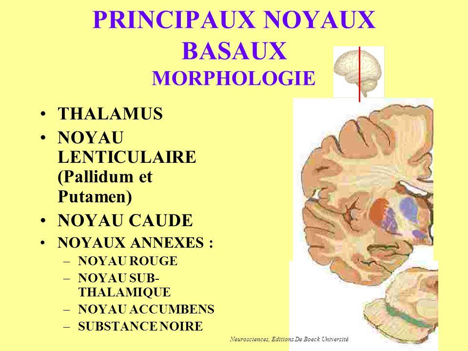 PRINCIPAUX NOYAUX BASAUX MORPHOLOGIE