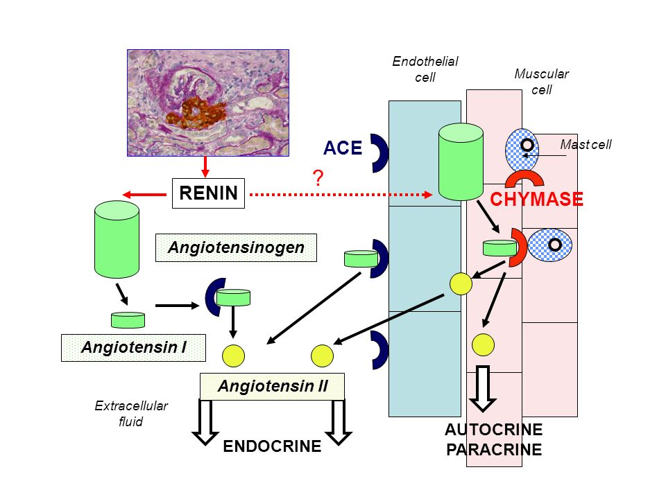 ACE RENIN CHYMASE Angiotensinogen Angiotensin I Angiotensin II