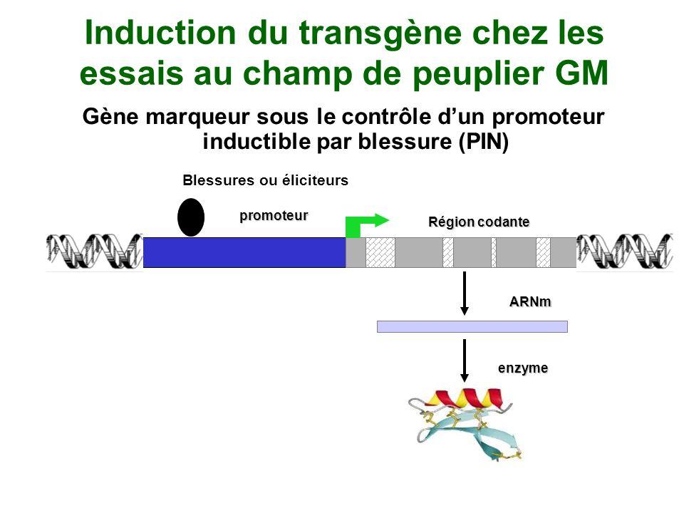 Induction du transgène chez les essais au champ de peuplier GM