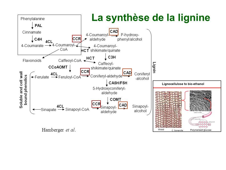 La synthèse de la lignine