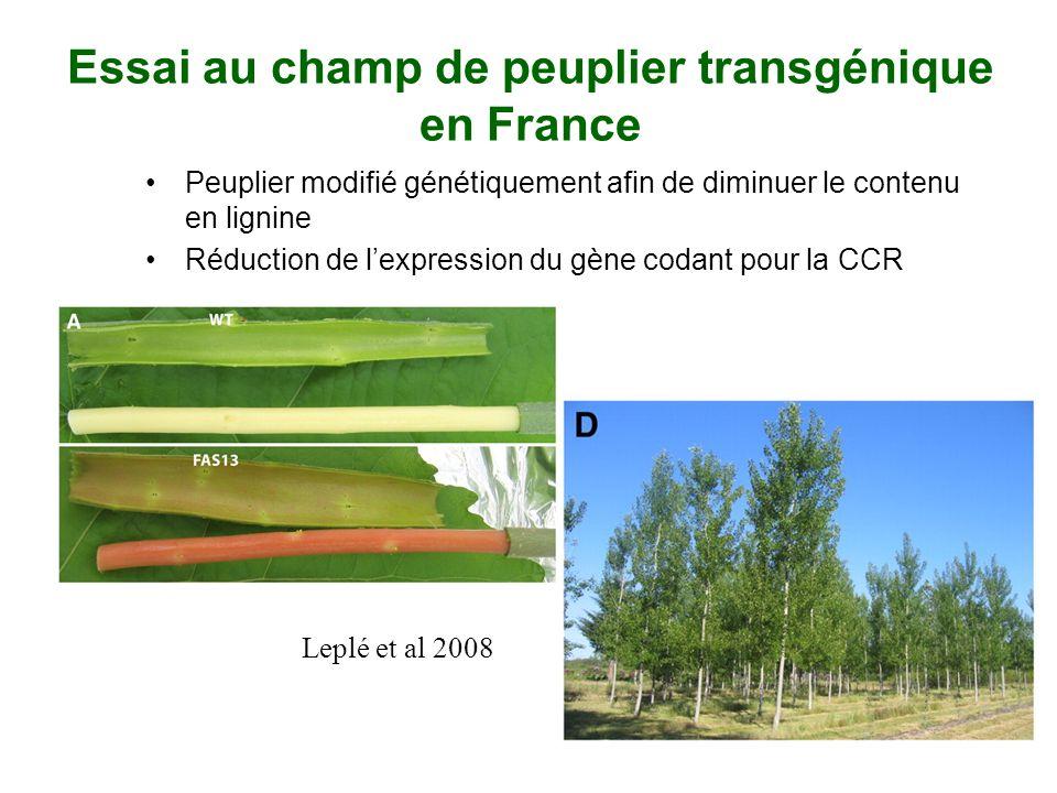 Essai au champ de peuplier transgénique en France