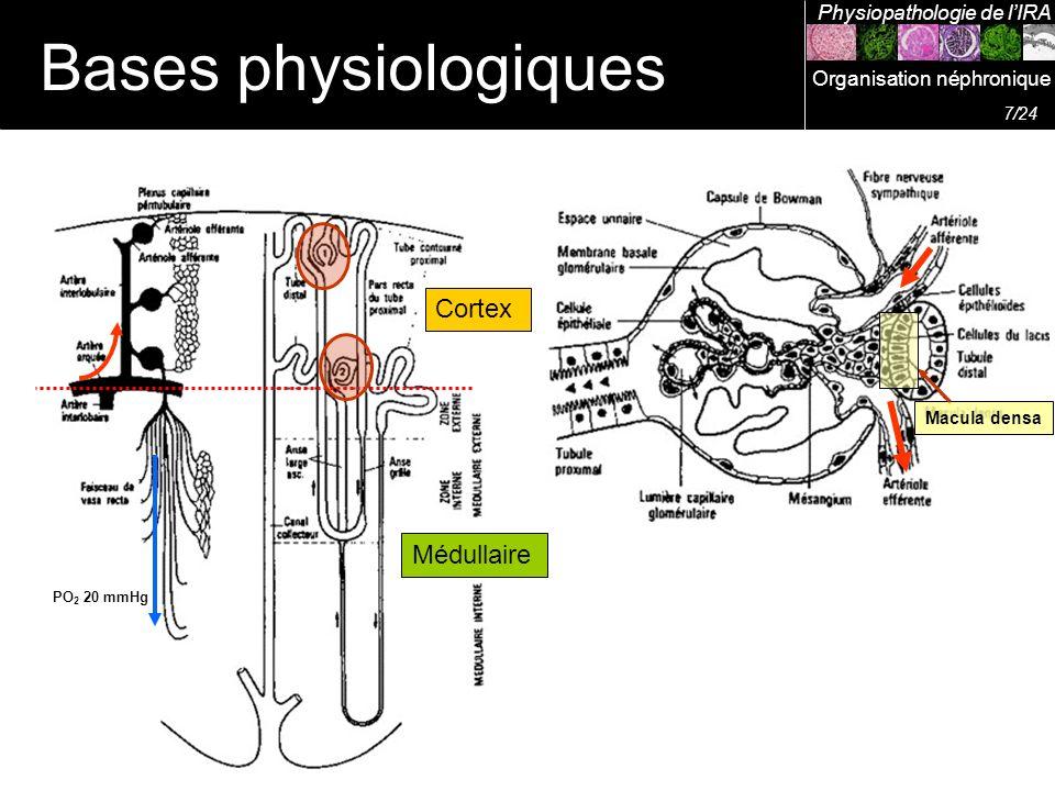Bases physiologiques Cortex Médullaire Physiopathologie de l'IRA
