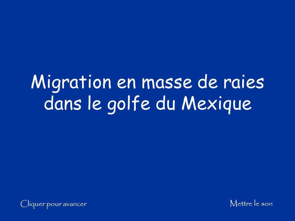 Migration en masse de raies dans le golfe du Mexique