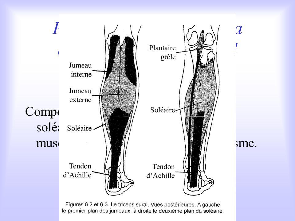 Parmi les extenseurs de la cheville : le triceps sural