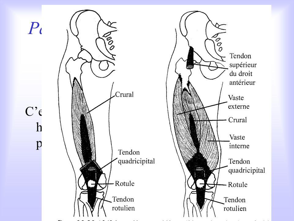 Parmi les extenseurs du genou le quadriceps
