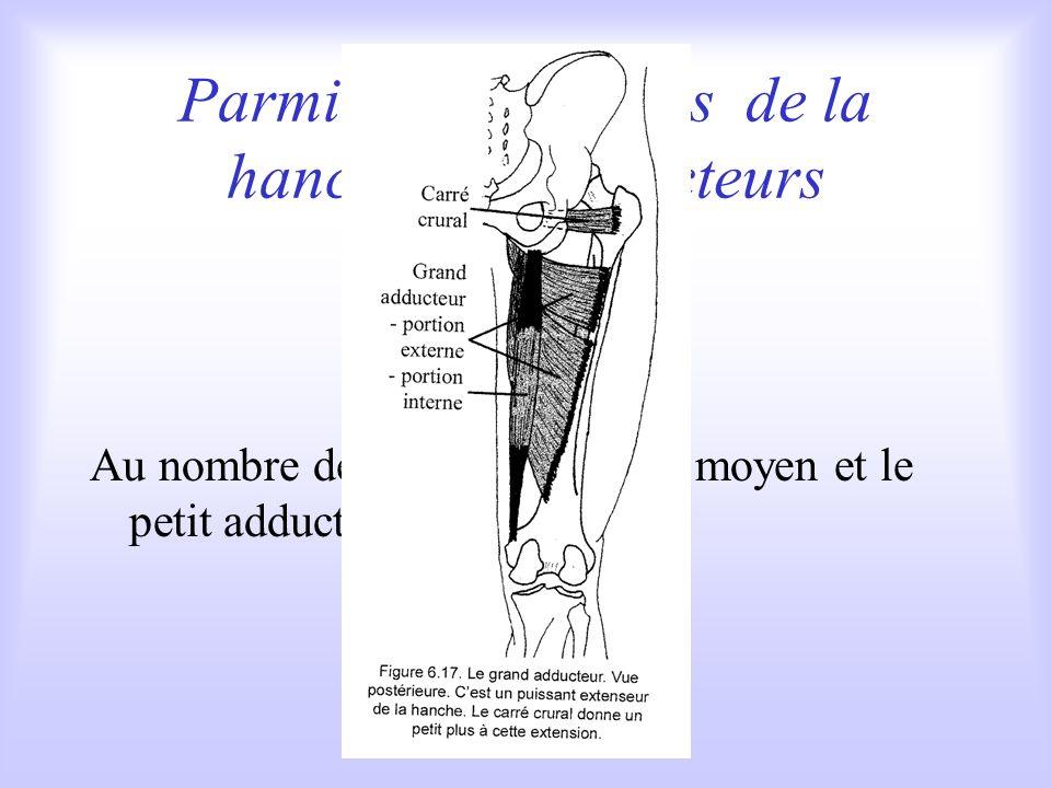 Parmi les extenseurs de la hanche: les adducteurs