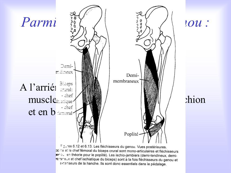 Parmi les fléchisseurs du genou : les ischio-jambiers