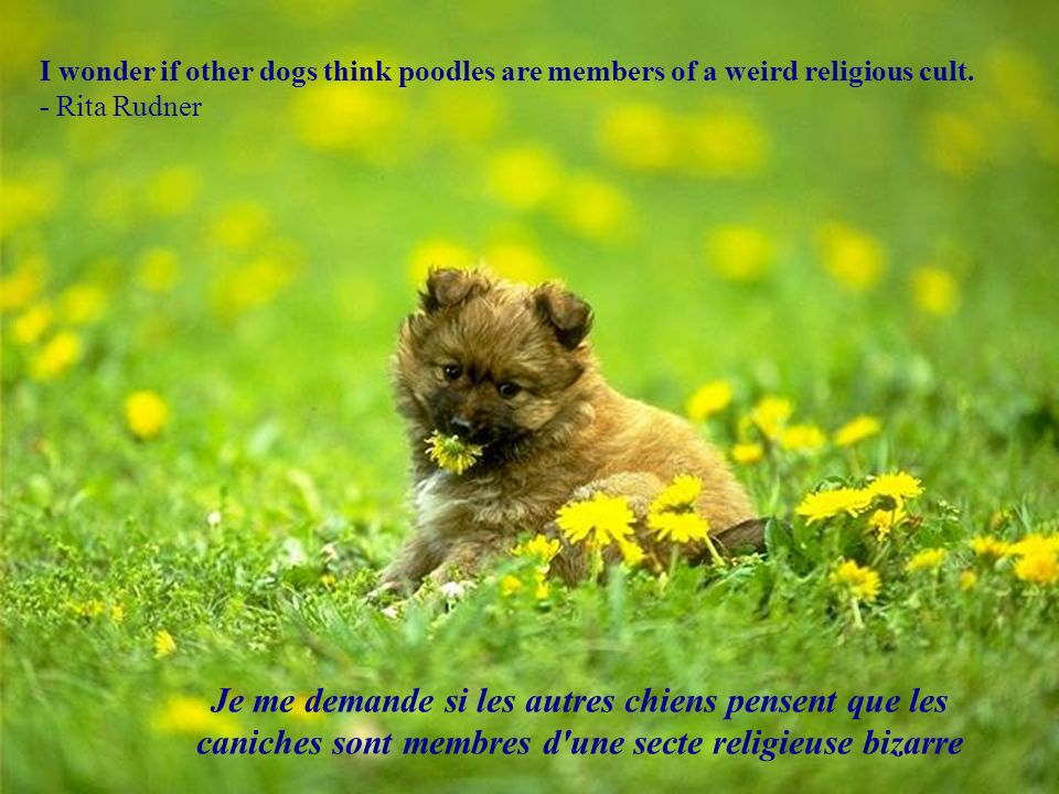 I wonder if other dogs think poodles are members of a weird religious cult.