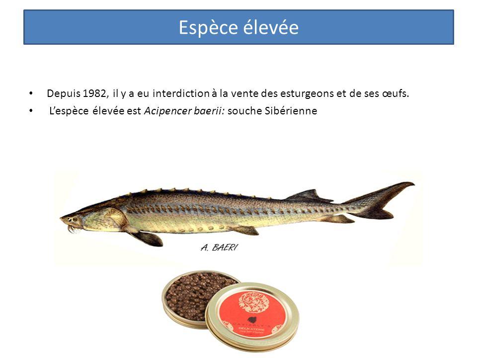Espèce élevée Depuis 1982, il y a eu interdiction à la vente des esturgeons et de ses œufs. L'espèce élevée est Acipencer baerii: souche Sibérienne.