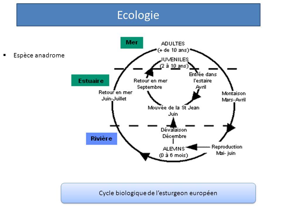 Cycle biologique de l'esturgeon européen