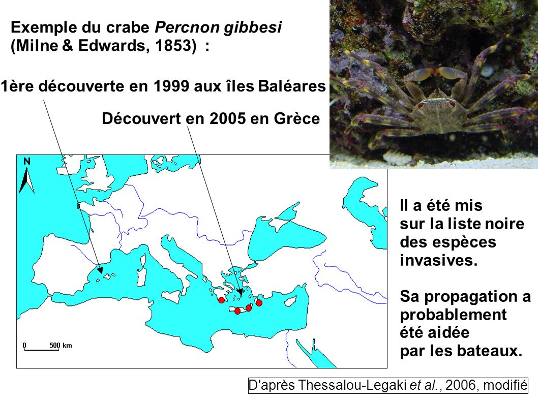 Exemple du crabe Percnon gibbesi (Milne & Edwards, 1853) :