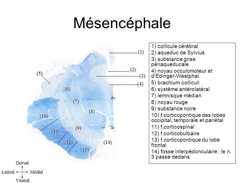 Mésencéphale 1) collicule cérébral 2) aqueduc de Sylvius