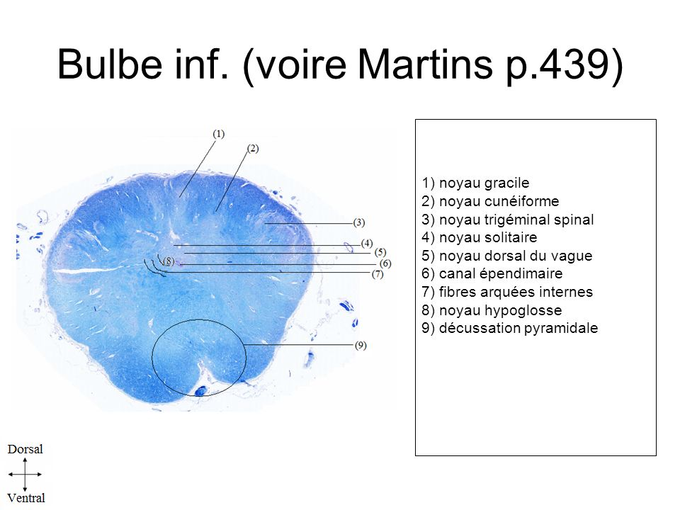 Bulbe inf. (voire Martins p.439)