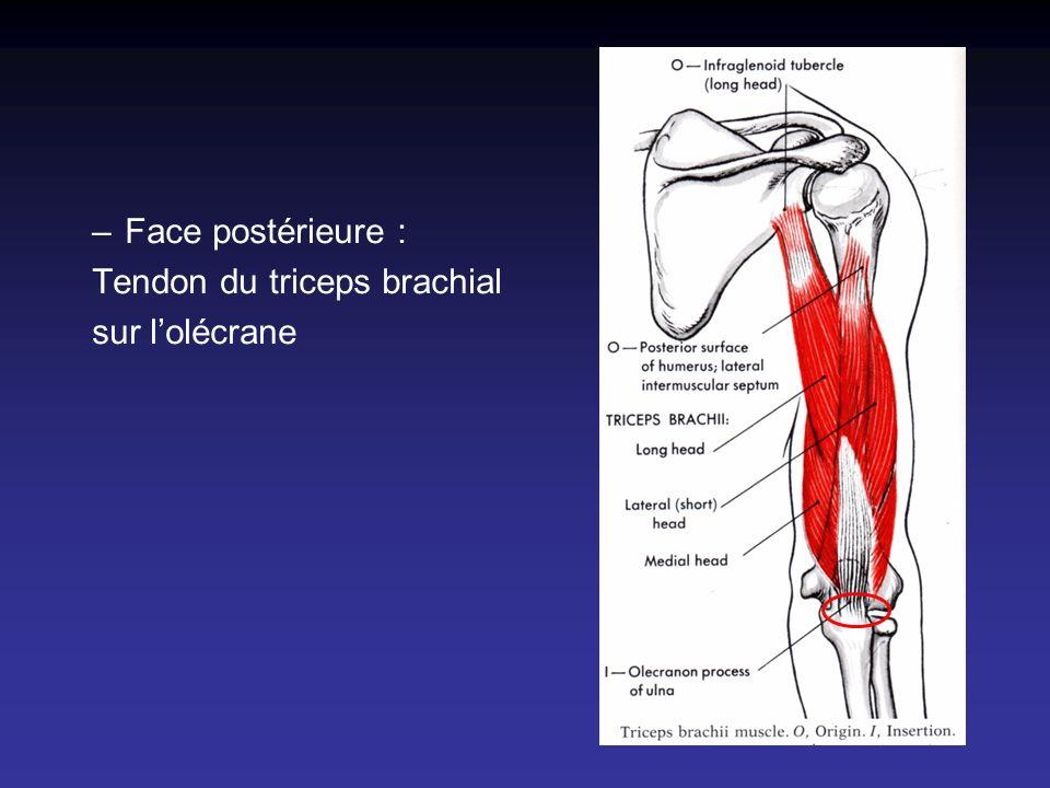 Face postérieure : Tendon du triceps brachial sur l'olécrane