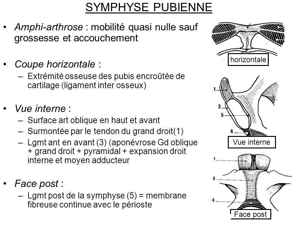 SYMPHYSE PUBIENNE Amphi-arthrose : mobilité quasi nulle sauf grossesse et accouchement. Coupe horizontale :