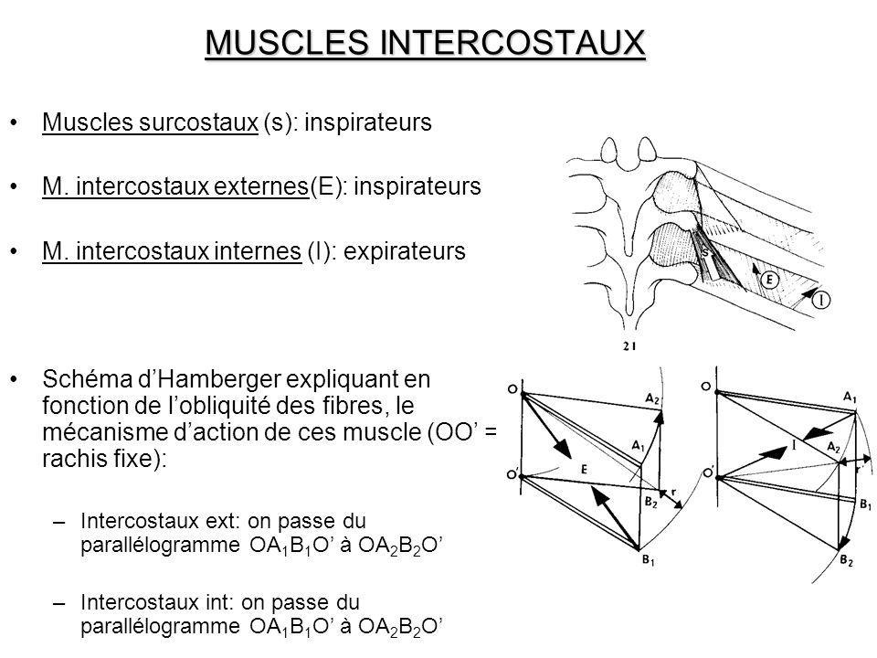 MUSCLES INTERCOSTAUX Muscles surcostaux (s): inspirateurs