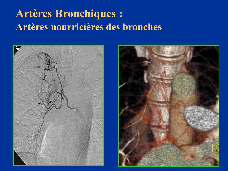 Artères Bronchiques : Artères nourricières des bronches