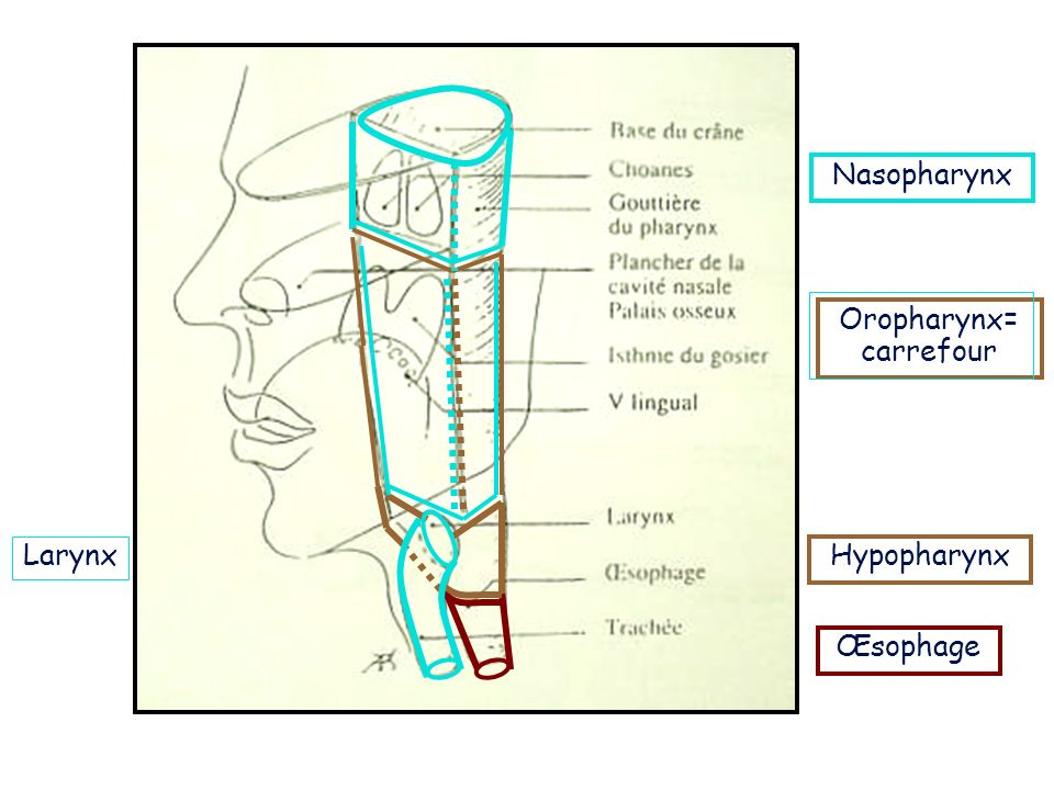 Nasopharynx Oropharynx= carrefour Larynx Hypopharynx Œsophage