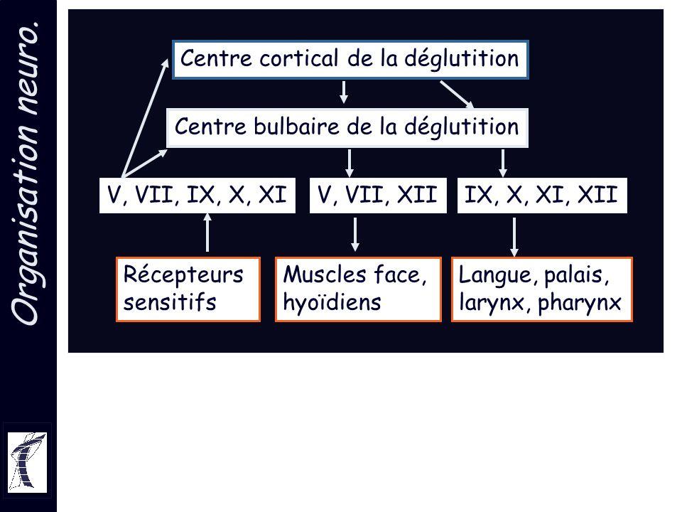 Organisation neuro. Centre cortical de la déglutition