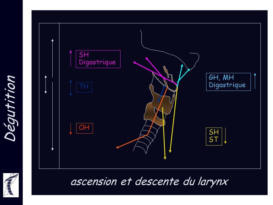 ascension et descente du larynx