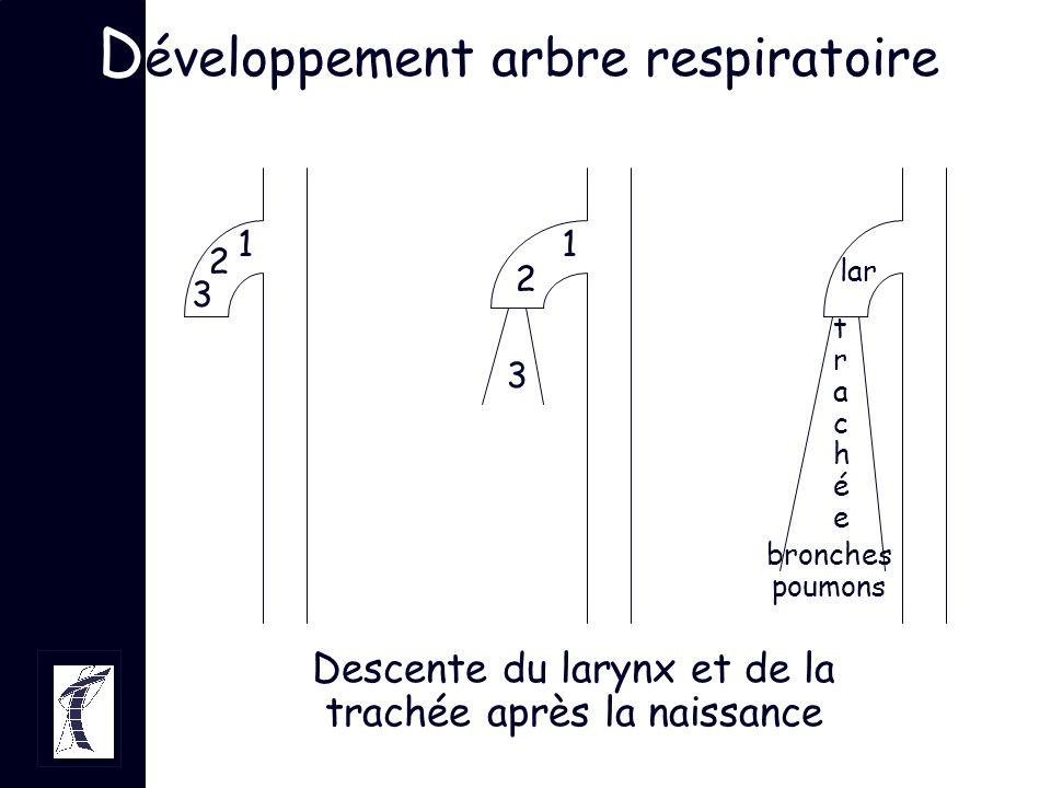 Développement arbre respiratoire