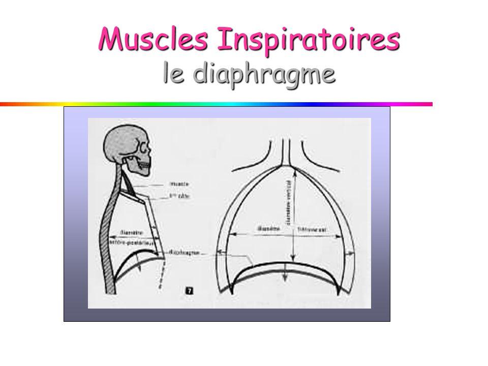 Muscles Inspiratoires le diaphragme