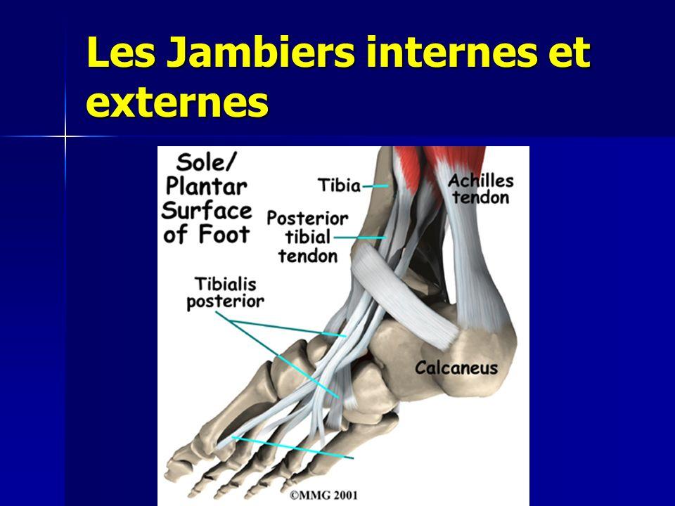 Les Jambiers internes et externes