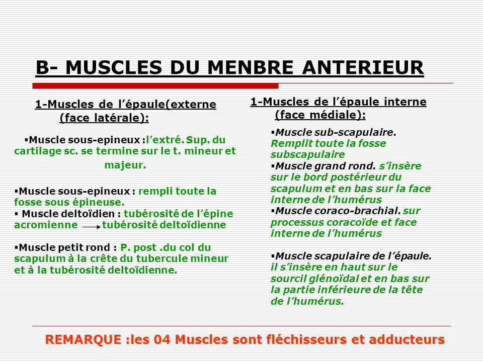 B- MUSCLES DU MENBRE ANTERIEUR