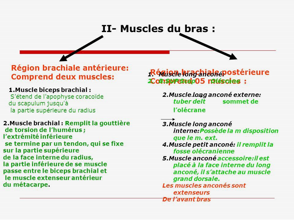 II- Muscles du bras : Région brachiale antérieure: