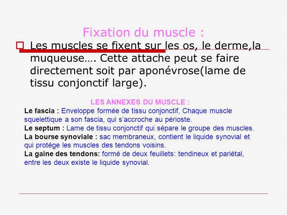 Fixation du muscle :