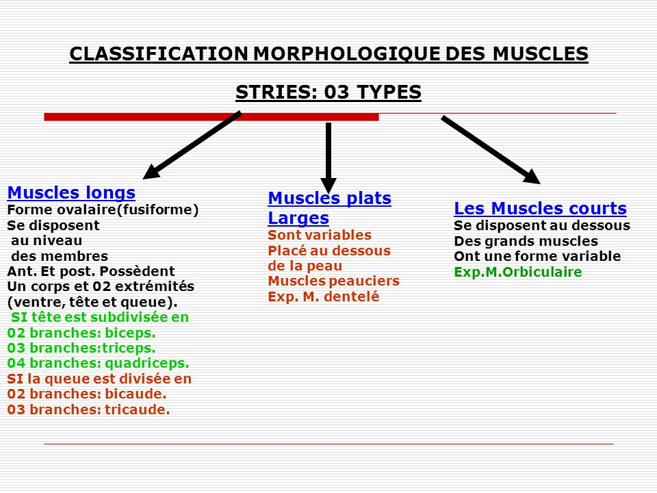 CLASSIFICATION MORPHOLOGIQUE DES MUSCLES STRIES: 03 TYPES